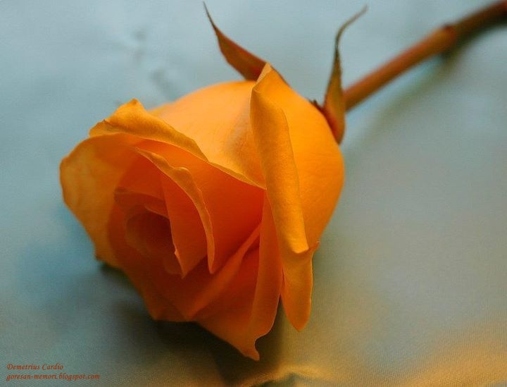 Single Orange Rose For Bridesmaids With Blue Ribbon