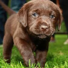 labrador brun -