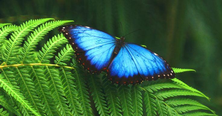Datos para los niños sobre la mariposa morfo azul. Hay variedades de mariposas en todos los tamaños, los colores, los hábitats y las especies. Una mariposa interesante es la morfo azul (Morpho Menelao). Hay mucho de esta especie que los niños gozarían de saber, así que reúne algunos datos fascinantes para educarlos acerca de esta mariposa hermosa y única.