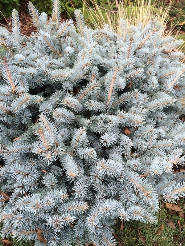 Blue Colorado Spruce (picea pungeans var glauca): Colorado spruce is usually a dense conical conifer. Within the species there is a botanical variety called the Glauca Group (var. glauca). The foliage of seedlings from plants in the Glauca Group can vary from green to bright powder blue. There are many cultivars with blue foliage that vary in the intensity of blue color. Cultivars also offer a range of sizes, forms, compactness, and growth rates. This species is quite tolerant of drought and…