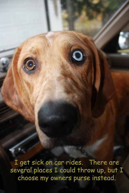 Can Dogs Get Car Sick And Throw Up