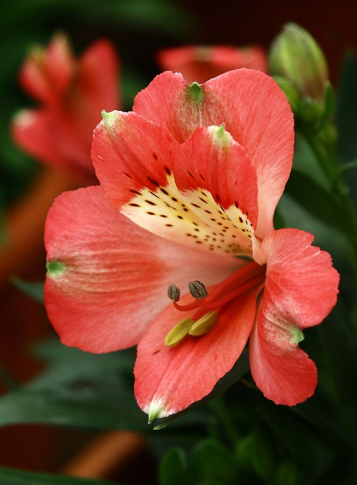 Peruvian Lily (Alstroemeria) 'Inticancha'