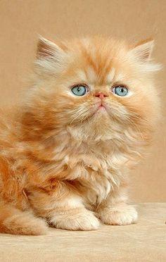 Entzückendes Ingwerkätzchen.   – Funny Cats Gifts