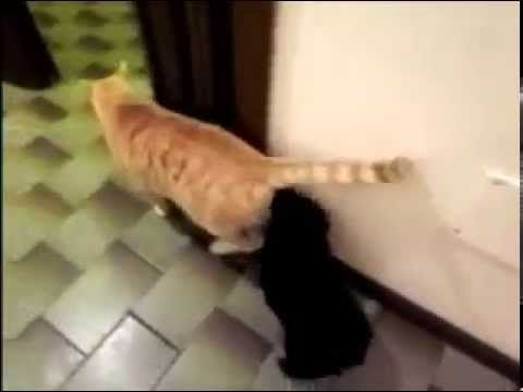 HILARIOUS VIDEO! PUPPY LIKES TO SMELL CAT'S ASS!!!! AHAHHAHAAHAH - YouTube