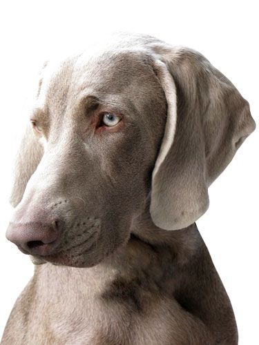 Dog: Weimaraner this makes me miss my babies so much! Hands down