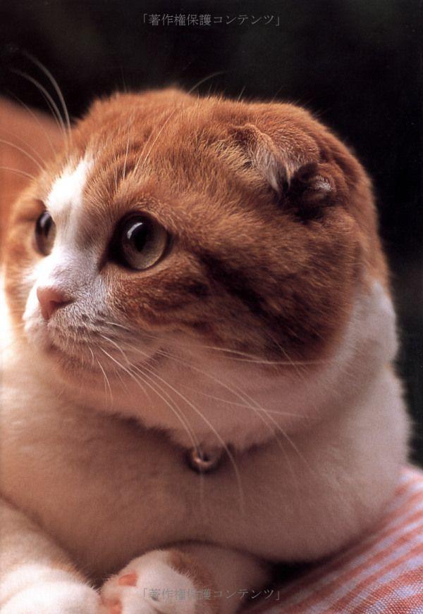 スコティッシュフォールドのき・も・ち | 猫の手帖編集部 | 本-通販 | Amazon.co.jp