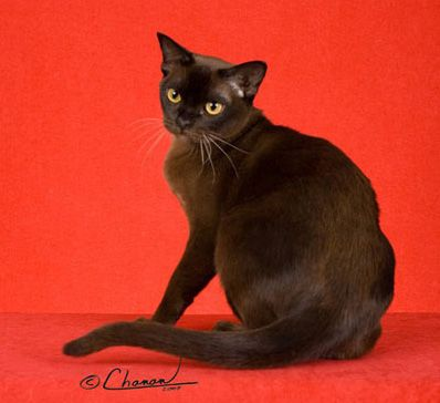 ~ European Burmese Cat ~  The European Burmese is an elegant, but not a fragile cat. It is medium sized & muscular. They love people, are highly intelligent, affectionate & loyal. They like the companionship of another cat or dog, however they'll also live quite happily as the only pet.