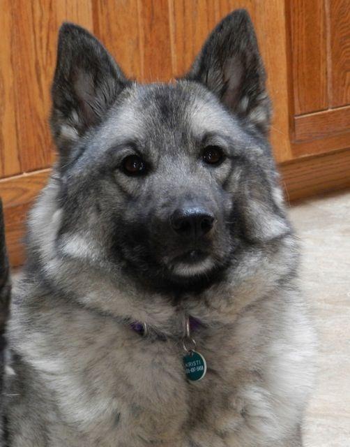 Norwegian Elkhound Kristi
