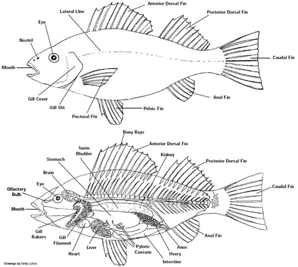 fish dissection diagram