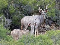 Kudu, are they not magnificent?