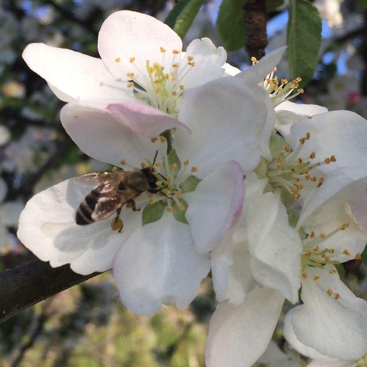 Elma çiçeği ve arı