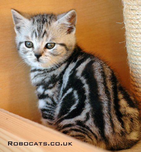 silver tabby cat.......I so want one of these