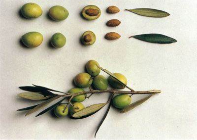 aceitunas/olives