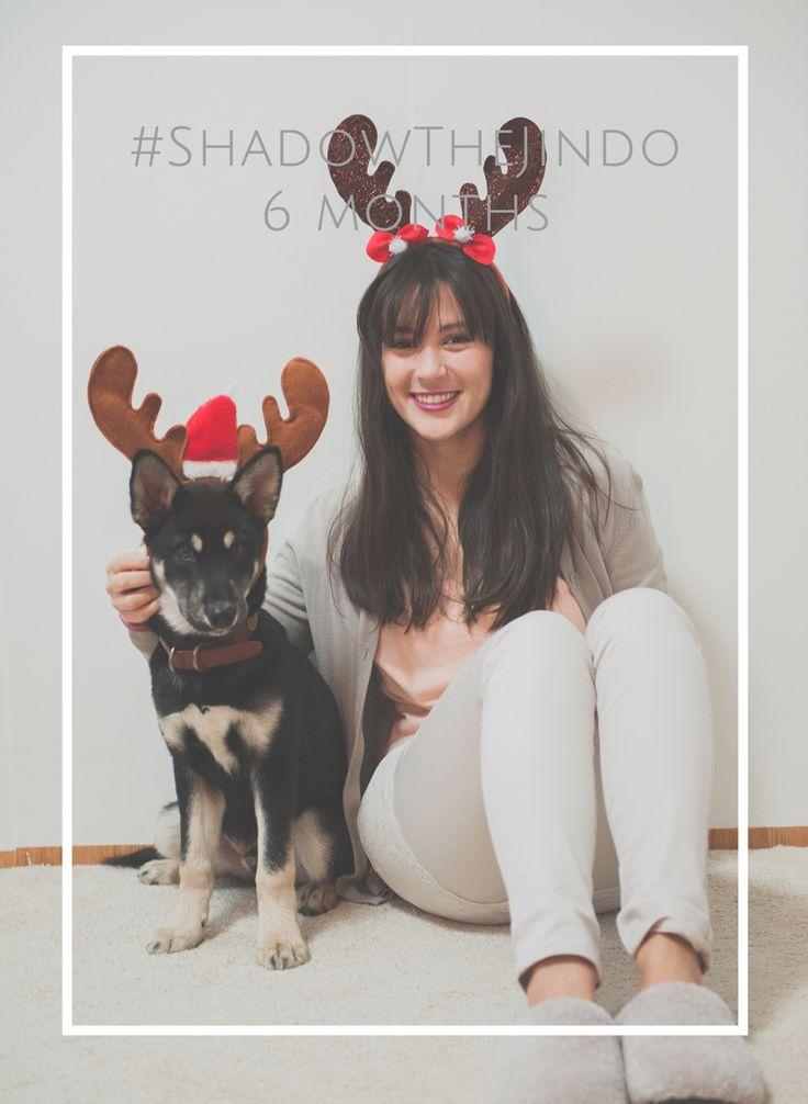 #ShadowTheJindo #puppy at 6 months #koreanjindo #jindo