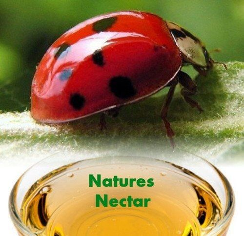 4500 Live Ladybugs + Hirt's Nature Nectar - Guaranteed Live Delivery