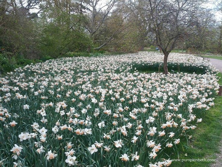 Daffodils at RHS Garden Wisley