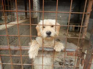Betyár      (Tibet-Terrier?-) Mischling,  Rüde , mittelgroß, geb. ca. Mitte 2013