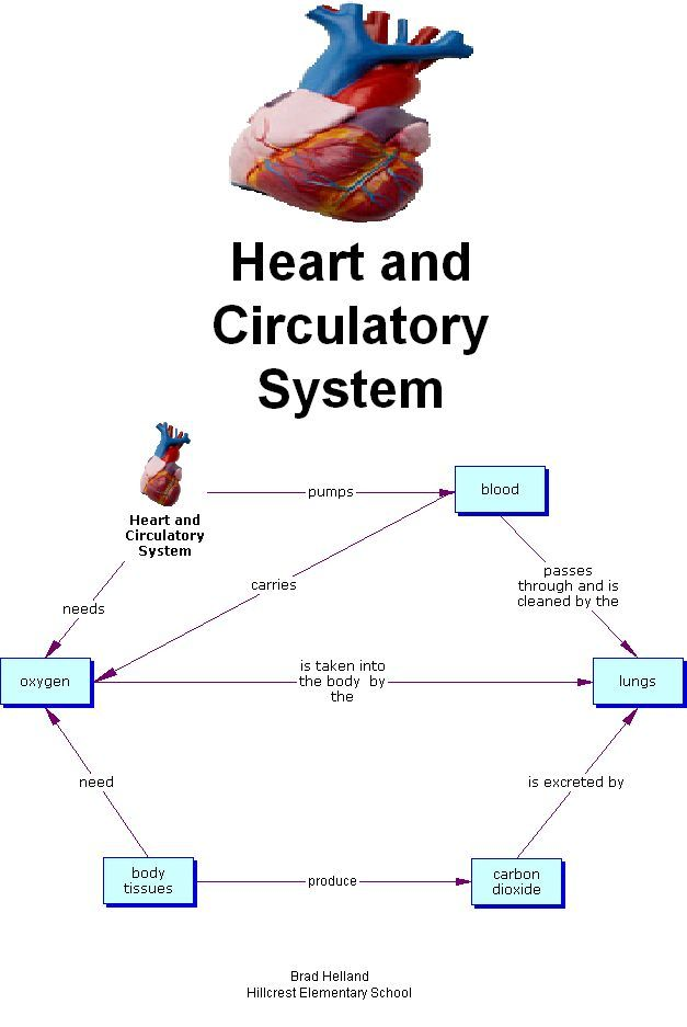 Simple Circulatory System Diagram For Kids