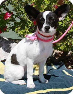 Gilbert, AZ - Fox Terrier (Toy)/Dachshund Mix. Meet Peppermint, a puppy for adoption. http://www.adoptapet.com/pet/17994205-gilbert-arizona-fox-terrier-toy-mix