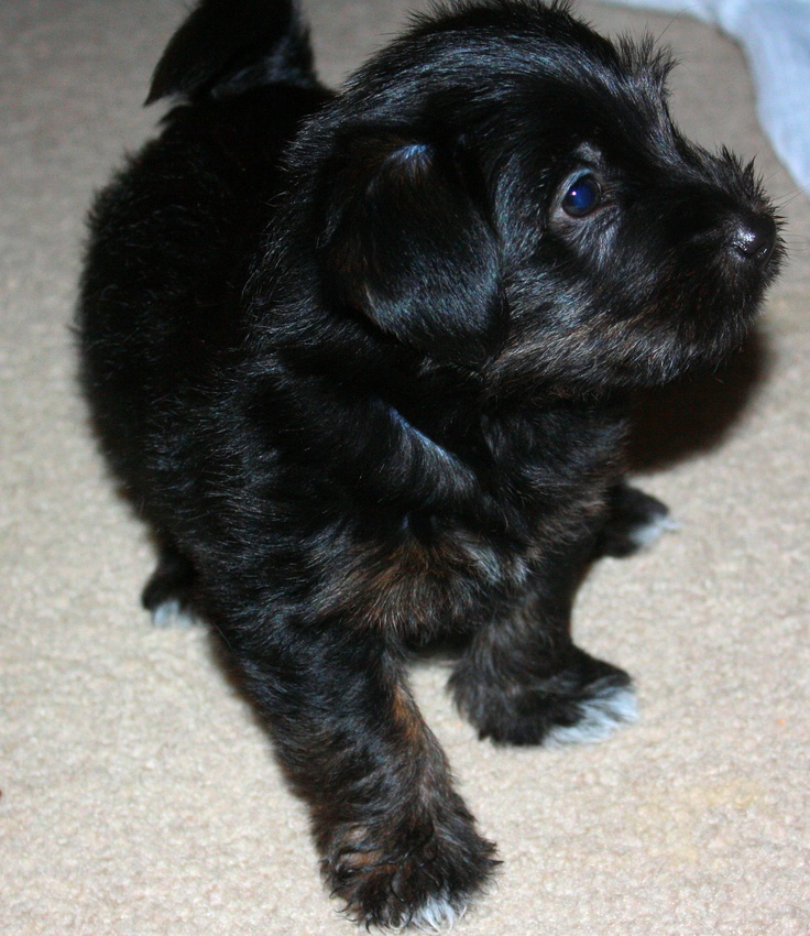 One of my Jack Russel Terrier's puppies. they were jack russel, yorkie, shih tzu mix. Sooo cute!!