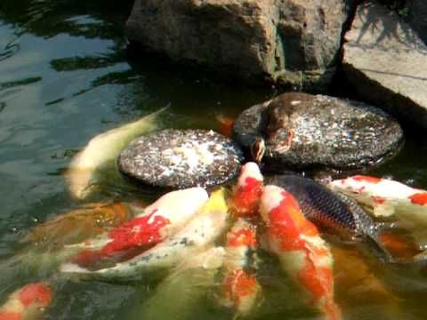 VIDEO: Amazing! This adorable duckling is feeding the Koi carp fish.