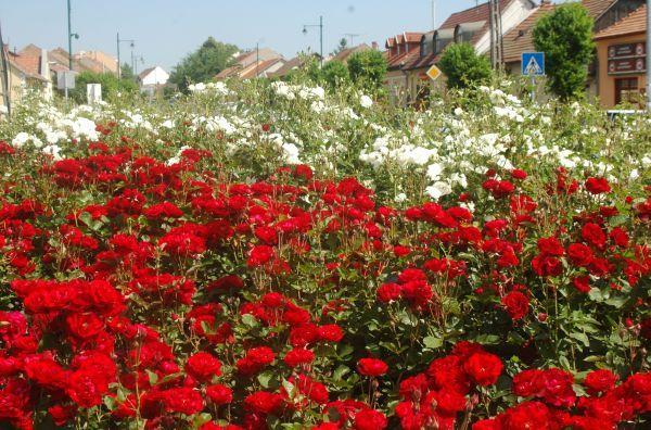 Pásztó, a rózsák városa | Dióhéj Kiadói Kft.