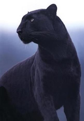 A truly magnificent creature... black panther.