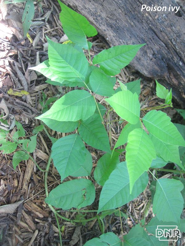 """Iowa's poisonous plants are easy to avoid when you know how to identify them. Go beyond """"leaves of three"""" and learn how to steer clear of poison ivy, wild parsnip and stinging nettles."""