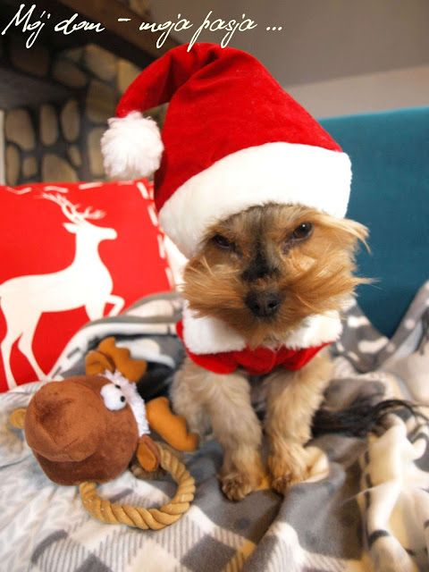 dog, yorkshire terrier, puppy, christmas dog