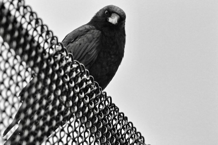 Intense gaze from a crow on a fence. Click image to enlarge.