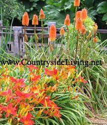 Цветник, не боящийся засухи: лилейник и книфофия. Засухоустойчивые растения