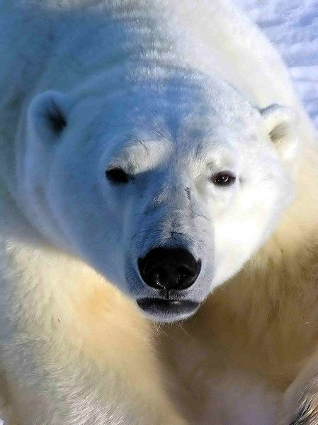 polar bears are common in northern Manitoba