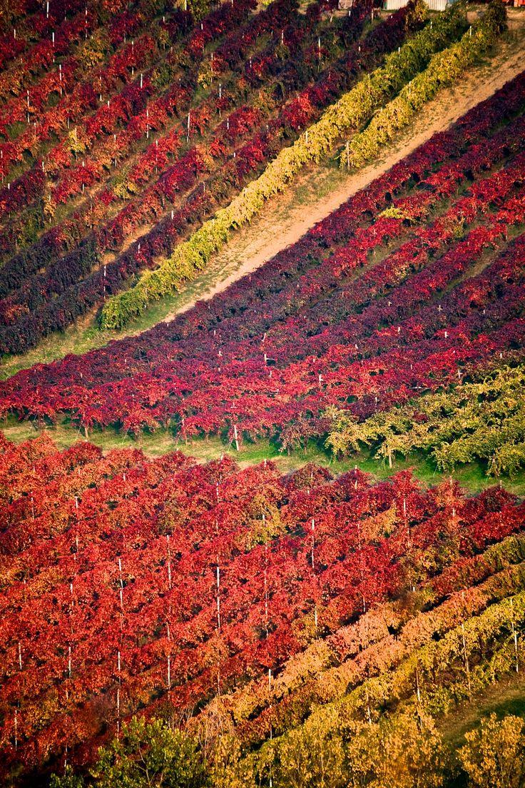 Italian Autumn. Vineyards at Castelvetro, Modena. By Francesco Riccardo Iacomino
