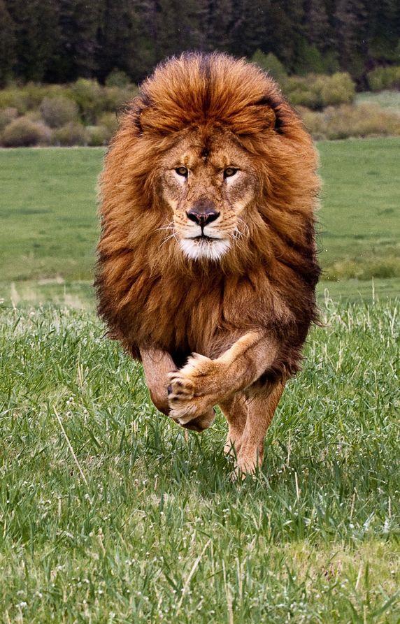 Lion (Gainde Ndiaye), emblem of Senegal. Com certeza esse fotografo estava atento. Olha essa juba voando...
