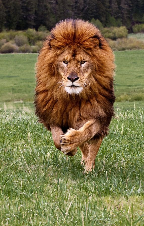 Lion (Panthera leo). There are three subspecies of lion in central and eastern Africa: the West African (P.l.senegalensis) is found from Senegal to Central African Rep., the Congo (P.l.azandic) is found in northeastern parts of the Congo, and the Katanga (P.l.bleyenberghi) range is as far north as the Dem. Rep. of Congo. -kc