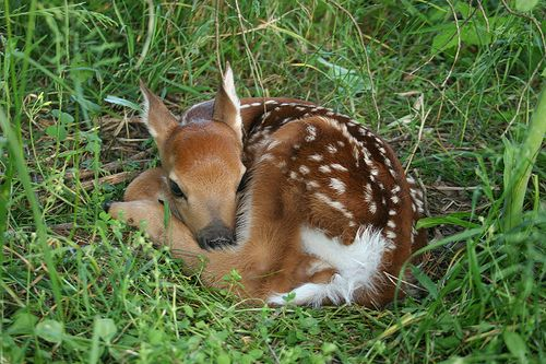 White Baby Deer | Newborn Fawn - white-tailed deer ... - photo#36