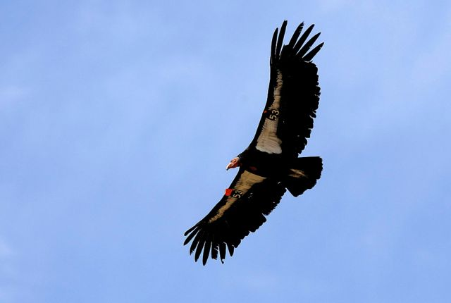 California Condors Will Be Reintroduced to the Wild