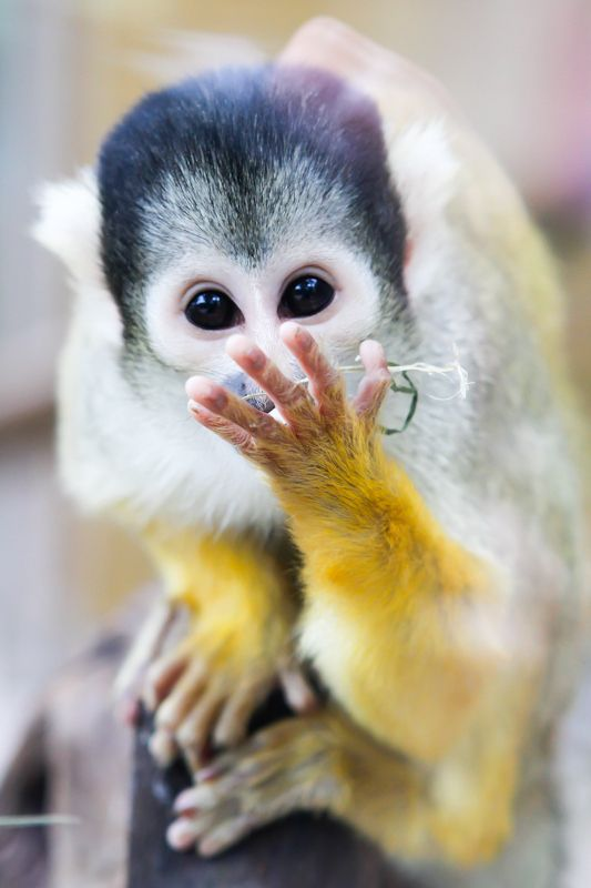 Squirrel Monkey~OMG, I can't believe you just said that!