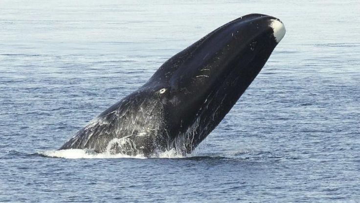 Inuitter mesket seg med hvaler for 4000 år siden | forskning.no