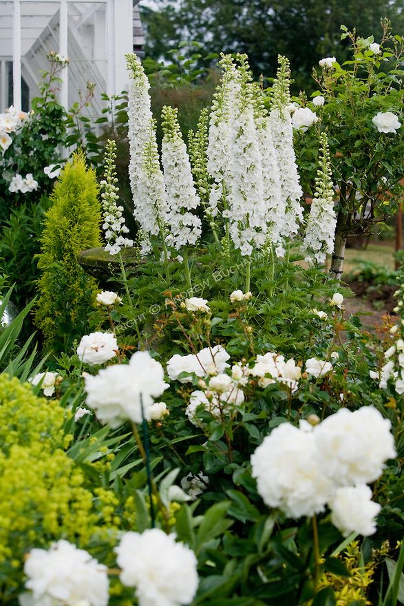 White Delphinium stalks, Peonies, and Roses in a Sissinghurst-style white garden.