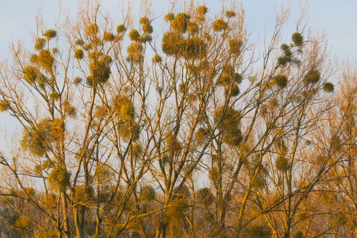 2014-12-31 Maretakken in de bomen bij Noorbeek