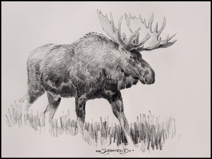 Beautiful Moose Pencil Drawings