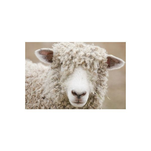 Canada, British Columbia, Fort Steele, Close-Up of a Sheep... ($22) ❤ liked on Polyvore featuring british wall art, photography wall art, steel wall art, photographic wall art and british home decor