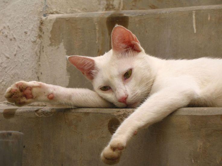 Feline Panleukopenia | feline distemper | distemper in cats | panleukopenia symptoms