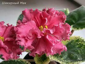 Шикарный Мак ( Морева) Стандарт Огромные темно- оранжево-розовые махровые цветы с выемчатой и волнистой оборкой по краю. Шикарная светло-зеленая ложечкой листва вся усыпана белым.