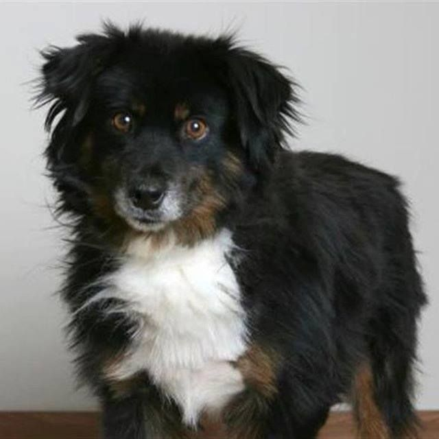 Lost Dog Minneapolis Australian Shepherd Male Date Lost 12 16 2019 Dog S Name Binx Breed Of Dog Australian Shepherd Gender With Images Cute Puppy Names Cute Puppies