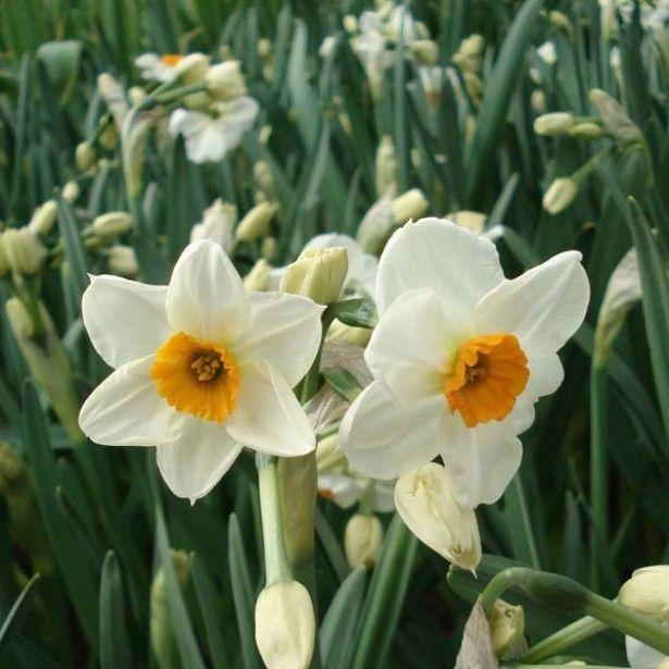 Narcisse Geranium Promesse de fleurs