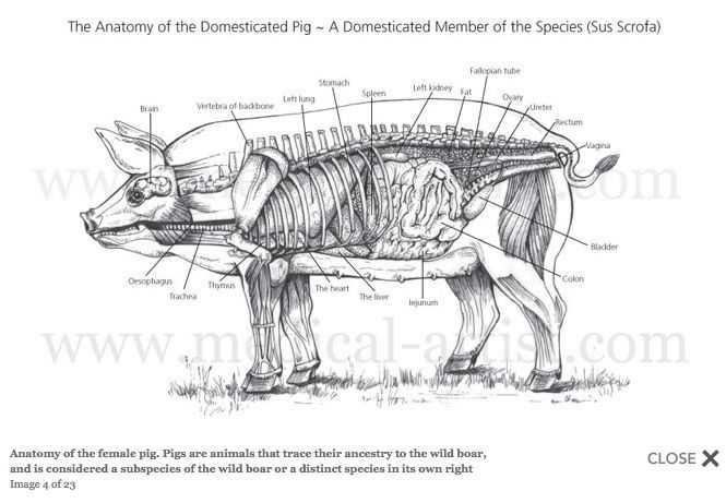 female pig anatomy