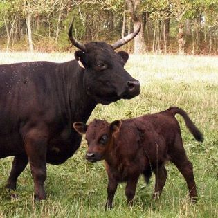 All About Irish Dexter Cattle – Homesteading and Livestock – MOTHER EARTH NEWS
