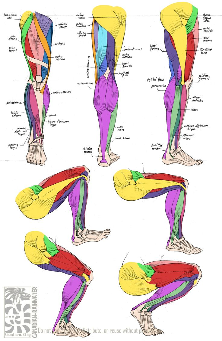Anatomy - Leg Muscles by Canadian-Rainwater on deviantART via PinCG.com